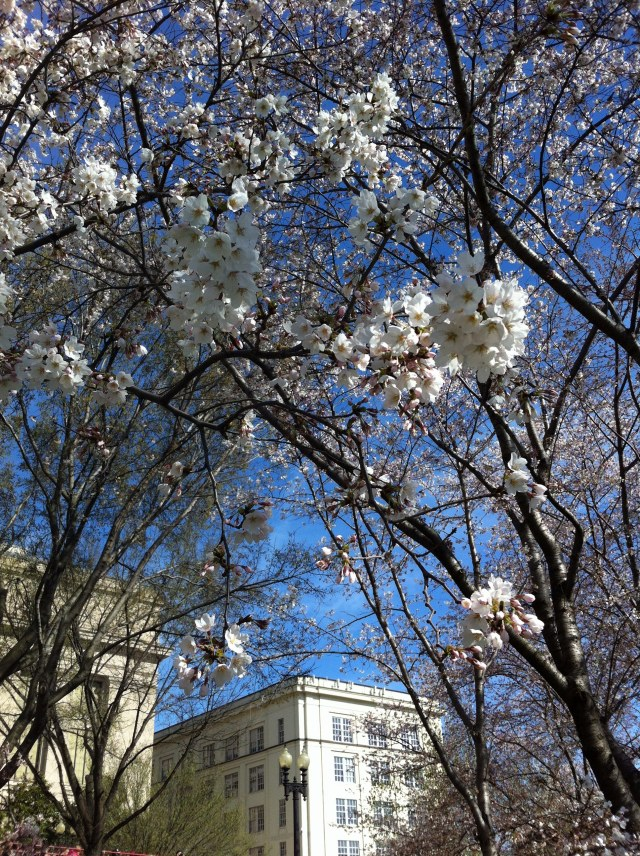 dccherryblossoms1